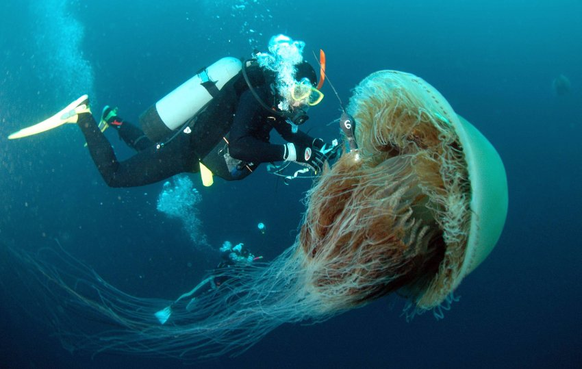 TO GO WITH AFP STORY BY JEROME CARTILLIER (FILES) A file photo taken on October 4, 2006 shows a diver attaching a sensor on a large Echizen jellyfish off the coast of Komatsu in Ishikawa prefecture, northern Japan. The dramatic proliferation of jellyfish in oceans around the world, driven by overfishing and climate change, is a sure sign of ecosystems out of kilter, warn experts. Two centuries worth of data shows that jellyfish populations naturally swell every 12 years, remain stable four or six years, and then subside. 2008, however, will be the eighth consecutive year that medusae, as they are also known, will be present in massive numbers. AFP PHOTO/YOMIURI SHIMBUN