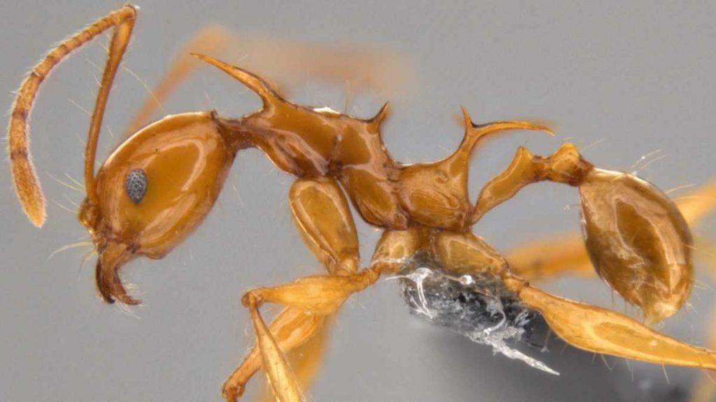 Nuevas especies de hormigas