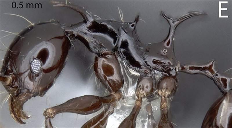 Nuevas especies hormigas