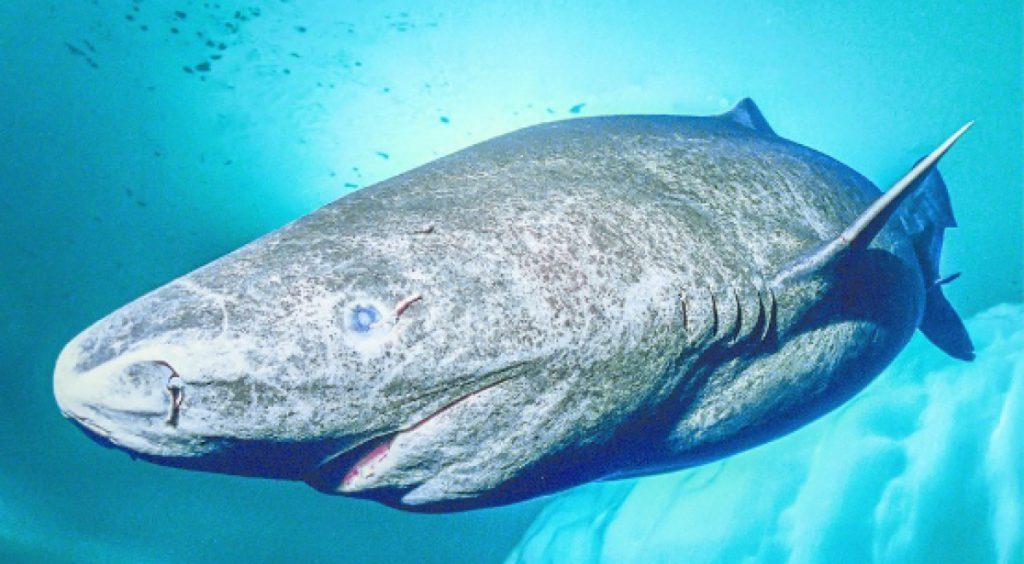 tiburones de Groenlandia
