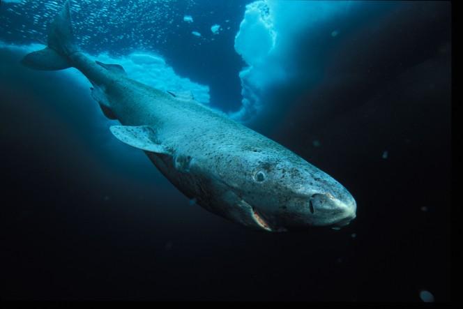 tiburones de Groenlandia 2
