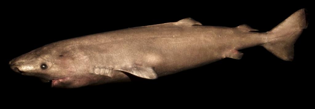 tiburones de Groenlandia 6
