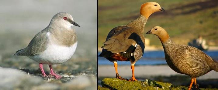aves-playeras-tierra-del-fuego