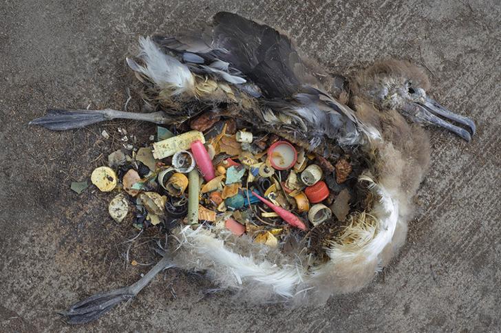 aves-que-comen-plastico-1
