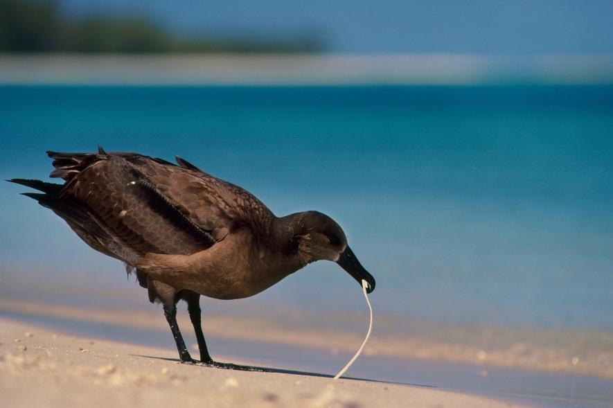 aves-que-comen-plastico-6