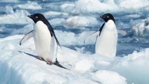 pinguino-antartida